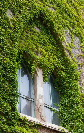 twined: old decorative window twined a green ivy