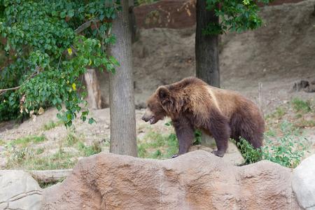 tiaga: Big Kamchatka brown bear among stones