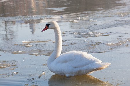 swimming swan: white swan to stand in water among ice