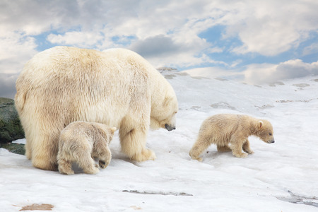 white polar she-bear with two bear cubs goes on snow Foto de archivo