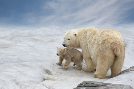 family of polar bears to stand on snow Stock Photo