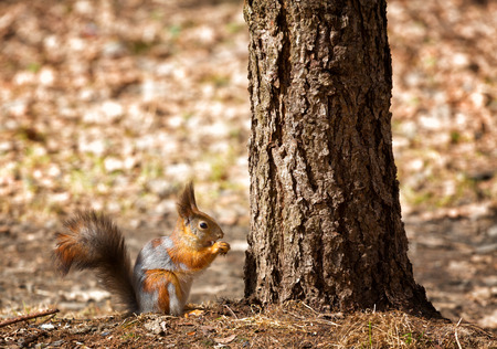 squirrel sits under a tree and gnaws a nut photo