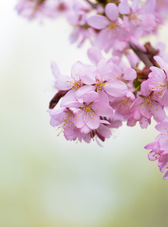 light green background: blossoming pink Oriental cherry sakura on a light green background