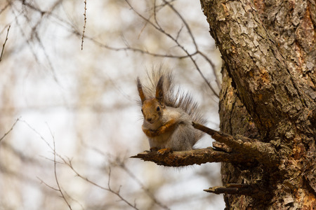 squirrel sits on a branch of a tree and holds a nut photo