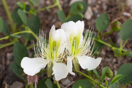 alcaparras: alcaparras en flor close up