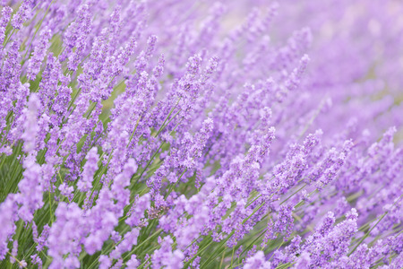 lavender: Blossoming lavender in the field in summer day