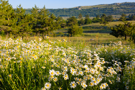 camomiles: blossoming camomiles on a plateau in the sunny summer day