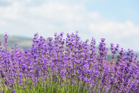 Field with the blossoming lavender in the sunny summer day Stockfoto