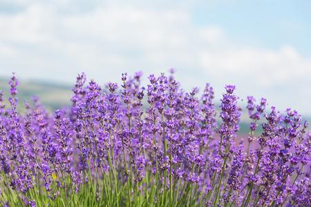 Veld met de bloeiende lavendel in de zonnige zomerdag