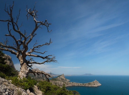 albero secco: old dry tree growing on a mountain slope. A view from the mountain on the cape Kapchik in the New World, the Crimea Archivio Fotografico
