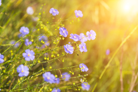 flowers sun: blue flowers of flax lit with the bright summer sun