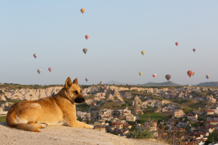 lies: big red dog lies on the rock and looks at balloons, Cappadocia