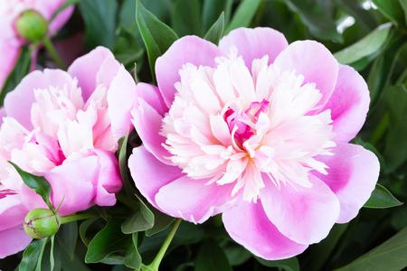 pfingstrosen: Schöne rosa Pfingstrosen Nahaufnahme