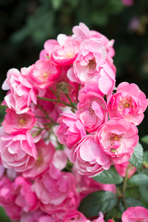 buch: Beautiful buch pink roses close-up