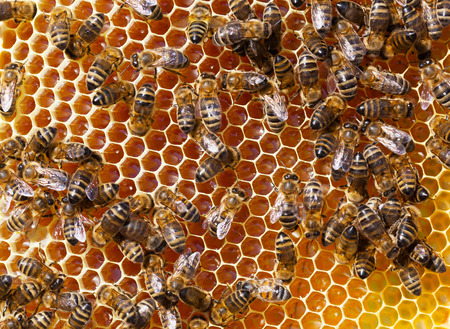 worker bees: Worker Bees on Honeycomb