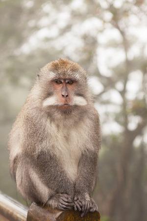 beggar's: Wild monkey close up, Indonesia, Bali.