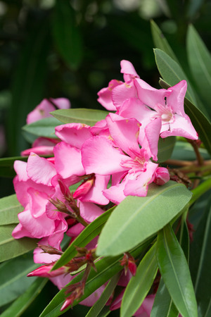 Oleander bush with pink flowers