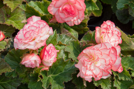 tuberous: White-pink tuberous begonias in the flower bed
