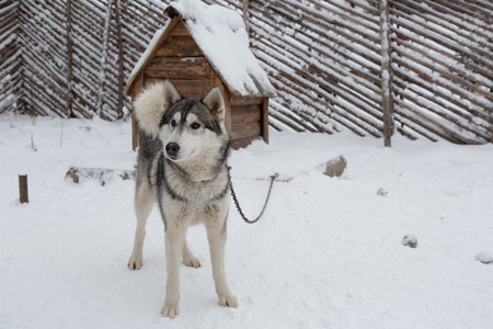 Husky dog standing in the snow near the doghouse Stock Photo