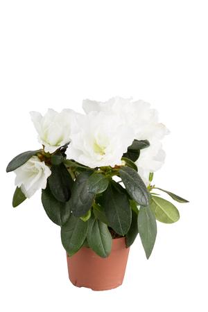 Mini-azalea with big white flowers,  isolated, a white background Stock Photo