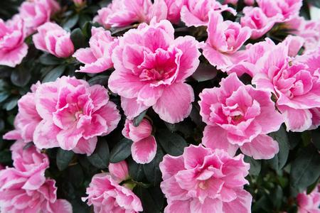 Blossoming pink azalea close up Stock Photo