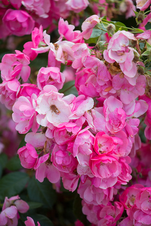 Beautiful buch pink roses close-up