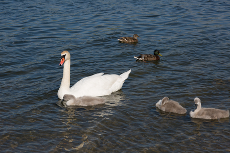 Family of swans: adult bird and chicks