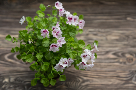 Blossoming geranium on a wooden background Shabby Chic