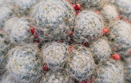 Cactus mammilaria prolifera haitensis (latin name) closeup