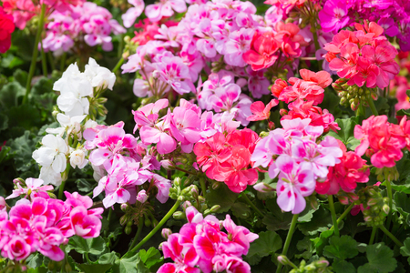 Blossoming red and pink geranium on a bed