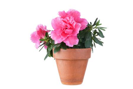Blossoming pink azalea