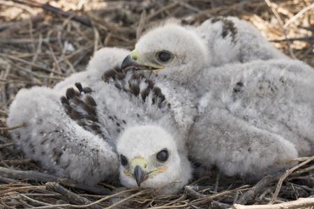 Küken des Steppenadlers im Nest
