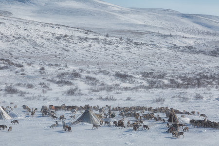 A herd of deer near a Nenets chums on a winter day, Yamal, Russia. Top view