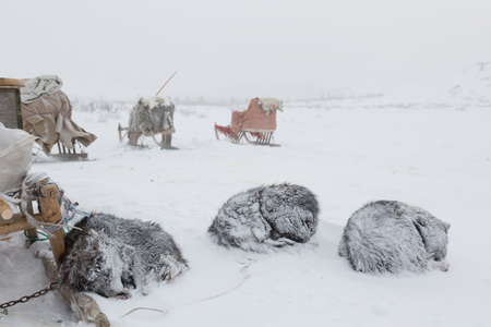 huskies sleep in the snow Archivio Fotografico - 109653346