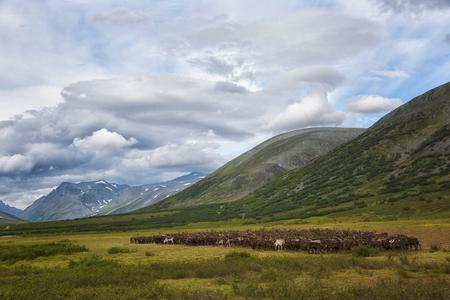 Large herd of reindeers in summer, Yamal, Russia Stok Fotoğraf