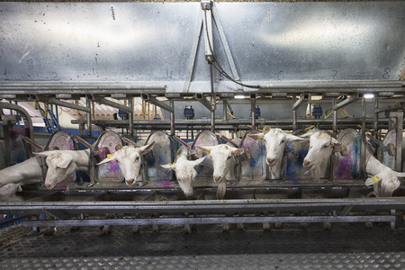 Goats during automatic milking