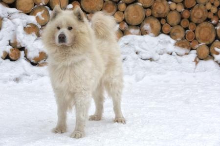 Samoyed dog in winter
