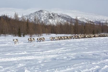 Grand troupeau de rennes en hiver, Yamal, Russie
