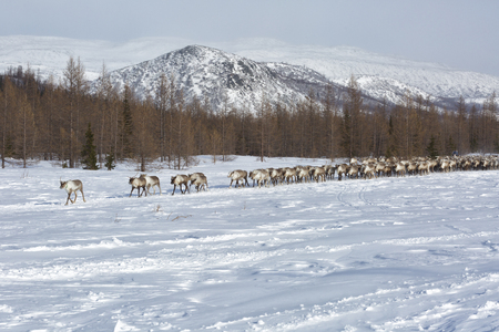 large herd of reindeers in winter, Yamal, Russia