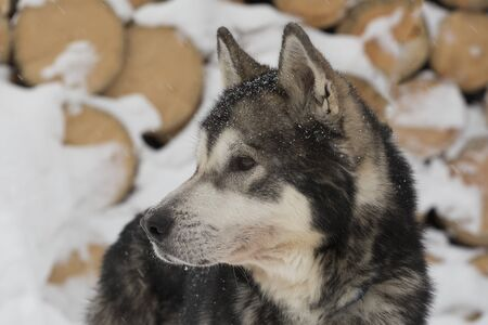 Husky dog standing in the snow close up