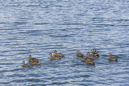 A flock of ducks floating in the water