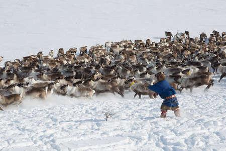 Nenets reindeermans catches reindeers on a sunny winter day Standard-Bild