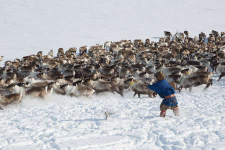 Nenets reindeermans catches reindeers on a sunny winter day Imagens