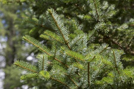 Branches of a green fir-tree close up