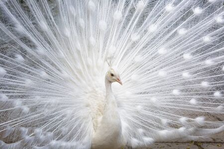 Beautiful white peacock close up Stock Photo