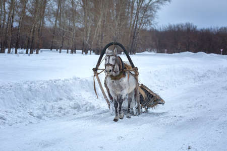 Horse harnessed to wooden sled in winter