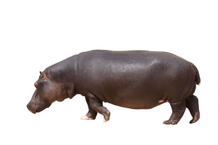Walking hippo. Isolated on white background. Banque d'images