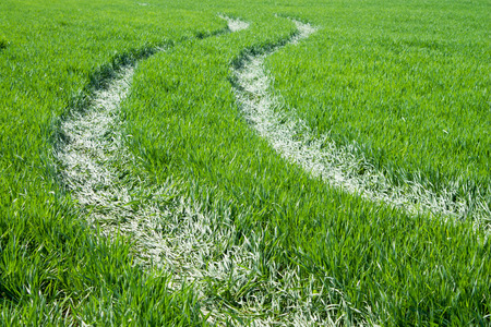 trampled: Trail of trampled grass on the background of green field