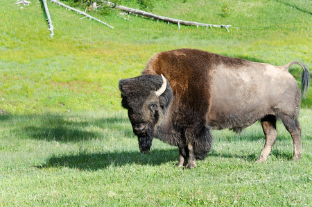 wildlife in  Yellowstone national park USA - bison