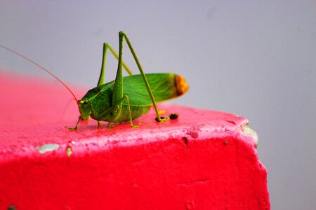 A specific center green grasshopper sitting and hanging tight for an extraordinary bounce on the camera Standard-Bild